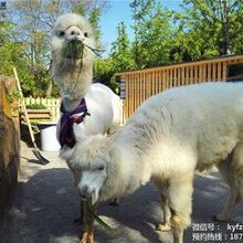 斑马羊驼小香猪垂耳兔羊驼鸵鸟袋鼠孔雀活体租赁