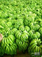 廣東徐聞香蕉批發價格圖片