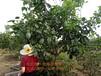 成都核桃树种植技术,成都核桃树苗种植前景与效益,成都川早2核桃号