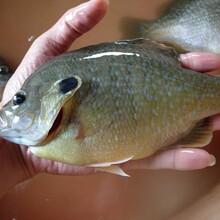 供應藍鰓太陽魚苗雜交太陽魚苗圖片