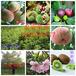 优质梨树苗大量销售梨树树苗直销