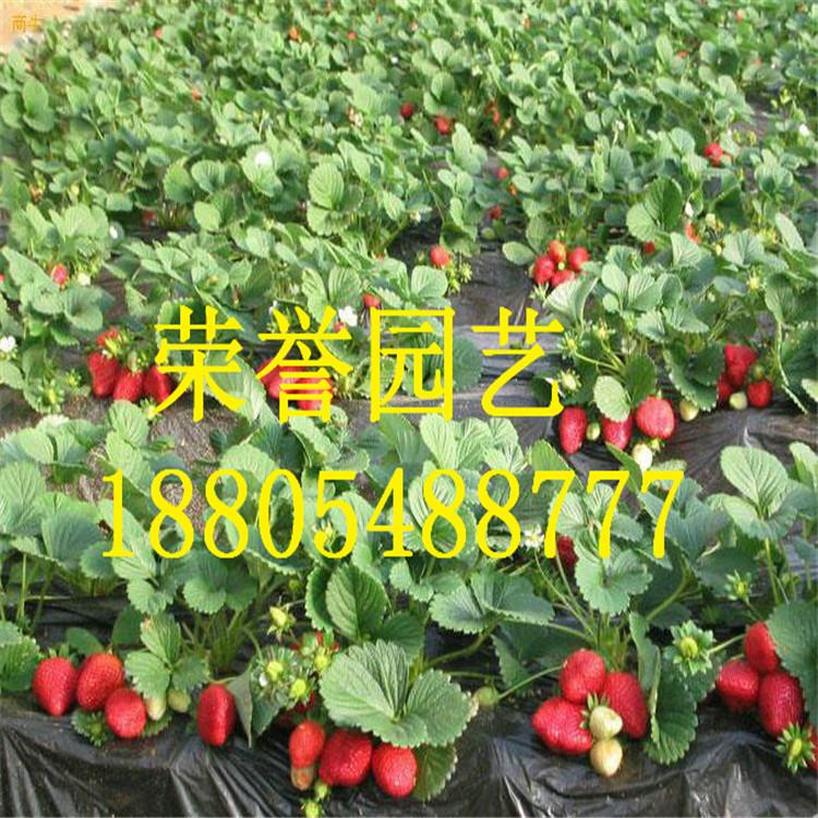 草莓苗种植管理草莓苗木销售