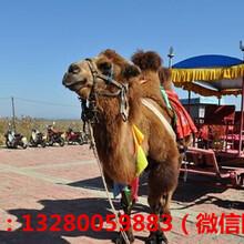 哪里卖骆驼怎么卖的哪里有骆驼养殖场图片