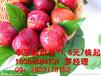 贵州李子苗,贵州青脆李苗种植技术,贵州青脆李管理技术