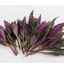 常年供应紫背天葵血皮菜紫背菜量大从优