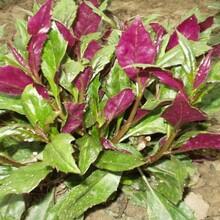 紫背天葵血皮菜紫背菜种苗红菜观单菜紫背天葵双色三七量大从优