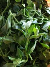 新鲜蔬菜青菜田七叶田三七穿心莲云南纯绿色田七叶大量批发价格面议