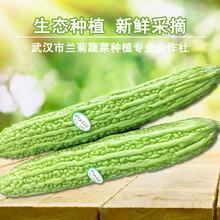 苦瓜新鲜蔬菜珍珠苦瓜凉瓜农家种植绿色无公害现摘现卖