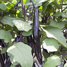 紫茄子新鲜现摘嫩茄子四季长茄子新鲜蔬菜