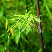 北京竹子出售綠化觀賞竹子適合別墅庭院種植的竹子圖片