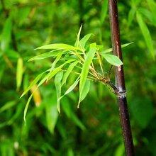 北京竹子出售绿化观赏竹子适合别墅庭院种植的竹子图片