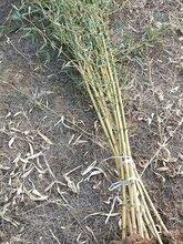 什么竹子适合庭院种植?庭院竹子风水在什么位置种植好?图片