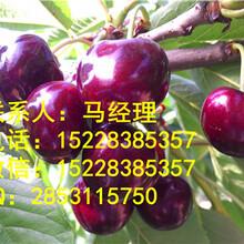 自贡黑珍珠樱桃树苗,自贡大樱桃树苗批发,优质樱桃苗基地
