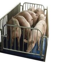 动物秤围栏秤称猪牛羊秤动物地磅价格畜牧电子秤图片