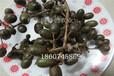 水果之王-软枣猕猴桃苗木供应