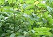 大量钩藤种苗供应