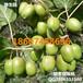 绿生园产地直供优质软枣猕猴桃种苗