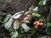 具有药用和食用价值的新型水果——馥香果