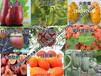 新型特色水果种植请认准绿生园,种苗优质、正宗、产量高