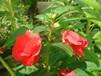 凤仙花种子