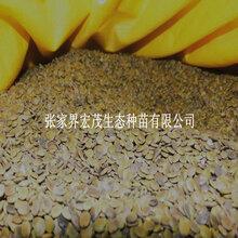 巨紫荆这里有种子供应图片