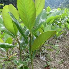 广玉兰苗木优惠供应图片