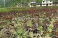 红叶樱花苗可供应