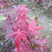 红枫小苗优惠供应