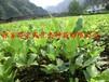 红豆树小苗有货供应