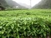 香樟小苗有货供应