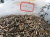 百日草花卉种子优惠供应