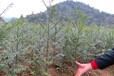 基地红豆杉苗有货供应