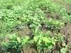 基地红豆树苗木供应