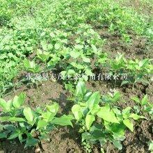 基地红豆树苗木供应图片
