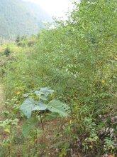 季節山蒼子苗木開始接受預定圖片