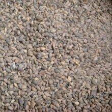 马尾松种子库存有货供应图片