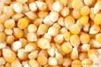 垄上诚信求购:玉米小麦高粱大豆黄豆菜籽等饲料原料
