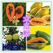 木瓜粉的作用与功效