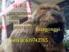 大型仿真动物QZA-022大猩猩