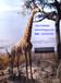长颈鹿标本
