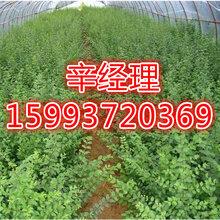 榆林出售法桐/國槐苗木價格159-9372-0369