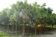 营口出售西府海棠/红叶石楠种植基地159-9372-0369