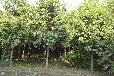 河南供应梨树苗/苹果树苗/雪松价格参考159-9372-0369