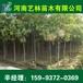 霸州哪里买3公分合欢/红叶碧桃产地价格159-9372-0369