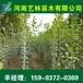 黄骅哪里有4公分广玉兰/五角枫树苗供应159-9372-0369