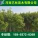 忻州哪里有5公分柿树苗/刺槐报价159-9372-0369