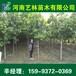 阳泉哪里有4公分红叶石楠/杏树苗小苗价格159-9372-0369