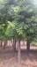 胸径16公分国槐树价格哪里的16公分国槐树价格便宜