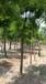 14公分國槐哪里有價格便宜的14公分國槐樹價格