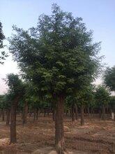 一級40公分移栽發冒皂角樹價格圖片